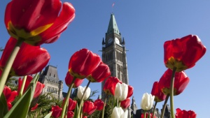 Tulips 20100426